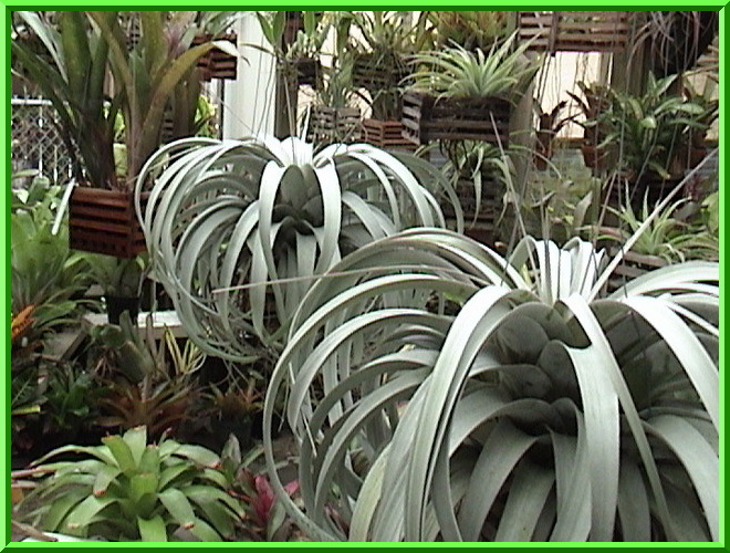 Collecting Bromeliads And Orchids In Florida Tillandsia